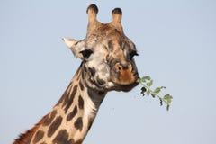 hungrig giraff Royaltyfri Foto