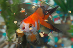 hungrig guldfisk fotografering för bildbyråer