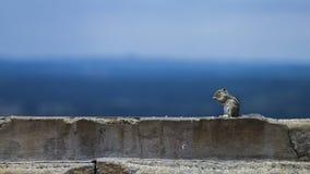 Hungrig indisk ekorre som äter mat på en tempelvägg Arkivfoton