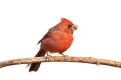 Hungrig kardinal Fotografering för Bildbyråer