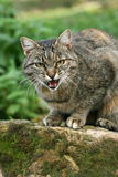 hungrig katt Royaltyfria Foton