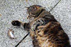 Hungrig katt och en mus Arkivfoto