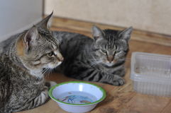 Hungrig katt två arkivfoto