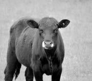 Hungrig ko i aftonen Arkivfoton