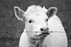 Hungrig ko i aftonen Arkivfoto