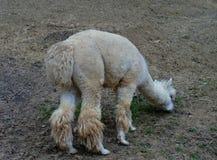 hungrig lama Fotografering för Bildbyråer