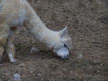 Hungrig lama i zoo Arkivfoto