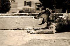 Hungrig och sömnig hund Royaltyfri Bild