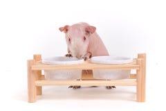 hungrig pig för guinea Royaltyfri Bild
