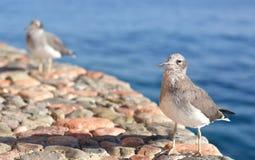 Hungrig seagull Royaltyfria Bilder
