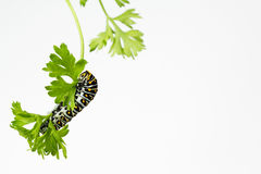 Hungrig svart Swallowtail larv royaltyfri fotografi