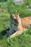hungrig tiger fotografering för bildbyråer