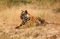 hungrig tiger arkivbilder
