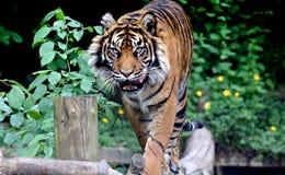 Hungrig tiger Royaltyfri Foto