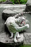 Hungrig vit tiger Royaltyfri Foto