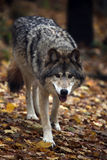 hungrig wolf royaltyfria foton