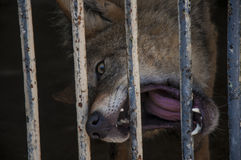 hungrig wolf Royaltyfri Fotografi