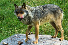 hungrig wolf Arkivbilder