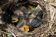 hungriga catbirds Royaltyfri Foto