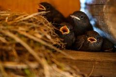 Hungriga fågelungar öppnar deras näbb royaltyfri foto