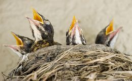 hungriga fågelungar royaltyfria bilder