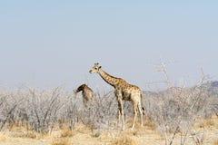 Hungriga giraff i taggigt akaziafält Royaltyfri Fotografi