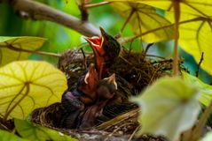 Hungriga Hatchlings som kallar för mat arkivfoto