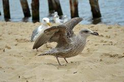 Hungriga havsfiskmåsar på stranden vid Östersjön royaltyfria foton