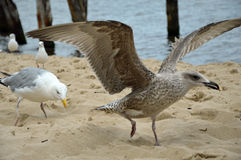 Hungriga havsfiskmåsar på stranden vid Östersjön fotografering för bildbyråer