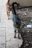 Hungriga katter i den Cypern tiggerin för mat Arkivbilder