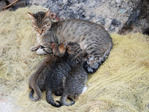 hungriga kattungar Royaltyfria Foton