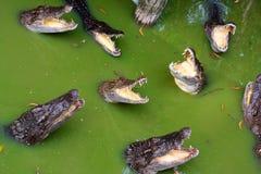 hungriga krokodiler Arkivbilder