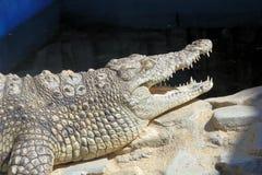 hungriga krokodiler Arkivfoton