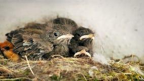 Hungriga näktergalhatchlings i ett rede stock video