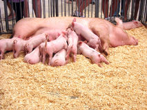 hungriga piglets Royaltyfri Bild