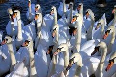 hungriga swans Fotografering för Bildbyråer