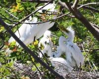 Hungriga unga ägretthägerfågelungar i rede royaltyfri fotografi