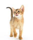 Hungrige abyssinische Katze Lizenzfreies Stockbild