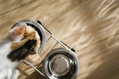 Hungrige dreifarbige Katze essen trockene Nahrung Gesund holistic lizenzfreie stockfotos