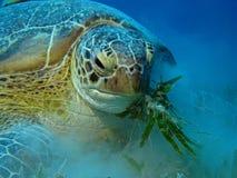 Hungrige grüne Schildkröte - Chelonia mydas Lizenzfreies Stockfoto