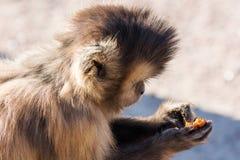 Hungrige Kapuzineraffe speist auf einer Niederlassung Lizenzfreie Stockbilder