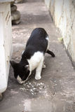 Hungrige Katze, die Lebensmittel isst Lizenzfreie Stockfotos