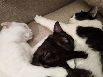 3 hungrige Katzen stockfotografie