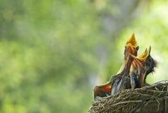 Hungrige Schätzchen-Rotkehlchen im Nest Stockbild
