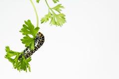Hungrige schwarze Swallowtail-Larve Lizenzfreie Stockfotografie