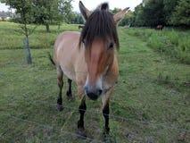 Hungrige Tan Riding Horse mit rauchigen Tipps Stockfoto