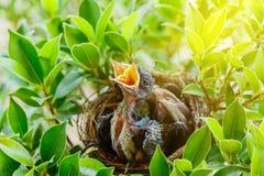 Hungrige Vogelbabys in einem Nest, das den Muttervogel kommen wünscht Lizenzfreie Stockbilder