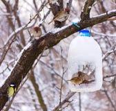 Hungrige Vogelspatzen ziehen auf die Zufuhr wird gemacht von einer Plastikflasche ein Stockbilder