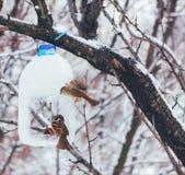 Hungrige Vogelspatzen ziehen auf die Zufuhr wird gemacht von einer Plastikflasche, eisiger Morgen des frühen Winters ein Stockfotos
