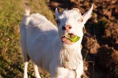 Hungrige Ziege Stockfotografie